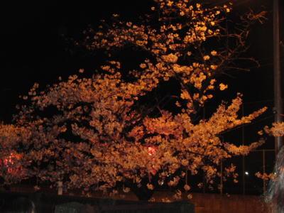 恒例の夜桜