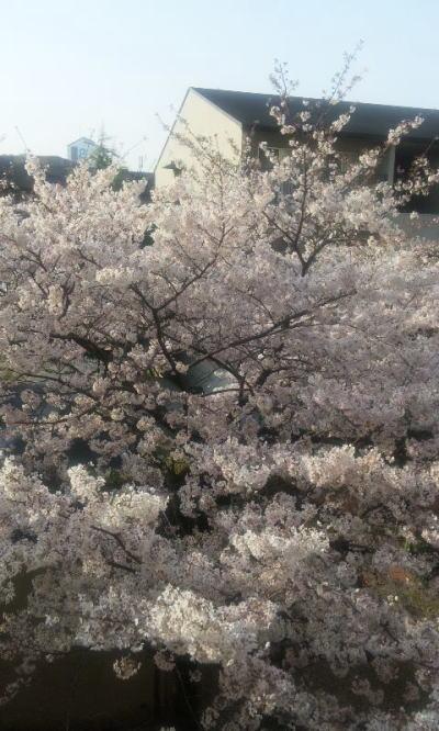 シッキャンの桜