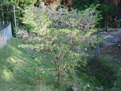 ねーちゃんの桜