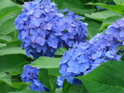 青の紫陽花さん