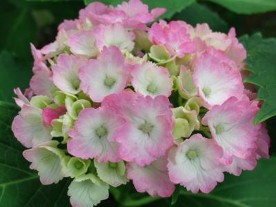 ピンクと白の紫陽花さん