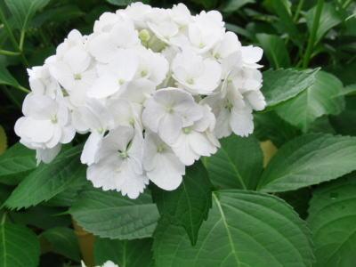 白い紫陽花さん