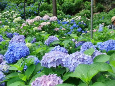 紫陽花さんたち3組