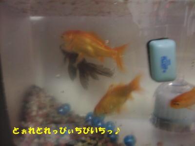 金魚の踊り食いでも
