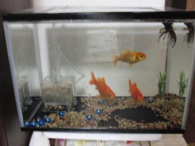 金魚ハウス
