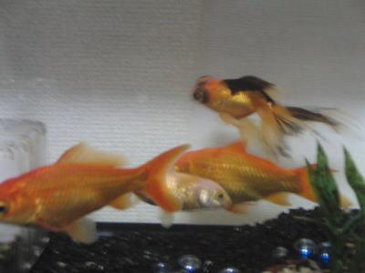 クールビズ金魚