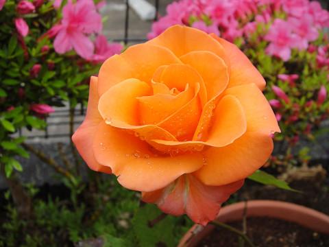 我が家のバラ 1006140002
