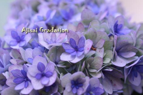 ajisai_20100610200349.jpg