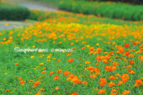 cosmos4.jpg