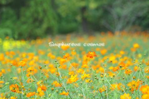 cosmos5.jpg