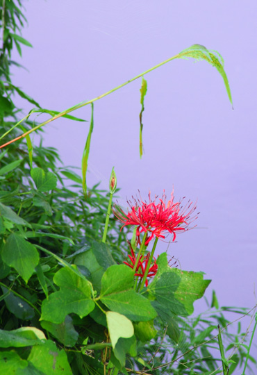 higanbana_20110914150624.jpg
