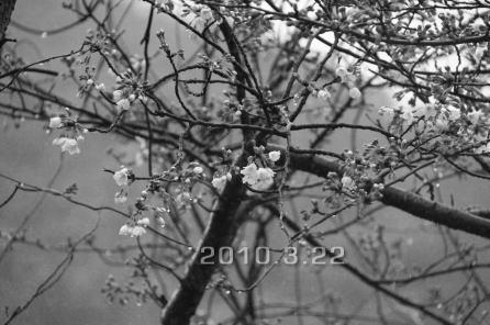 sakura_20100325095602.jpg