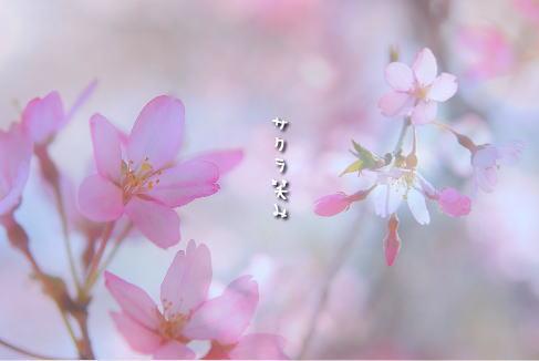 sakura_20100406163526.jpg