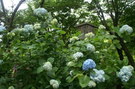 PICT0009紫陽花
