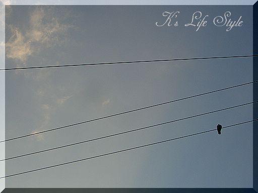 電線の鳩.
