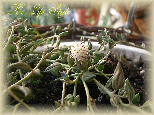 グリーンネックレスの花.