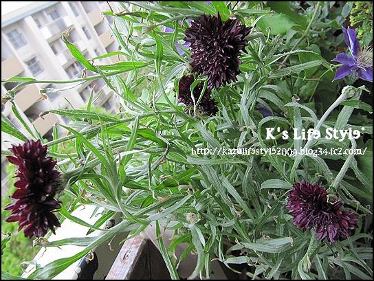 黒花 セントーレア ブラックボール.jpg