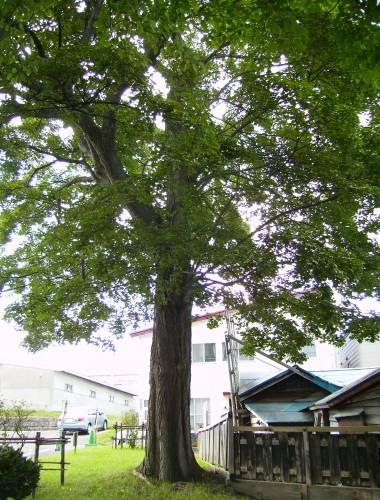 板屋楓 小樽市役所 横