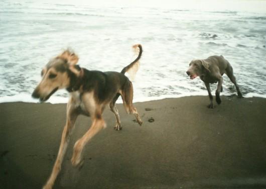 セルゲイ1歳 インちゃん6ヶ月と近くの砂浜で