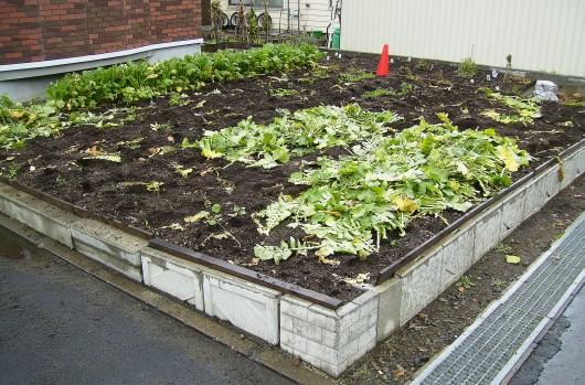 大根収穫6