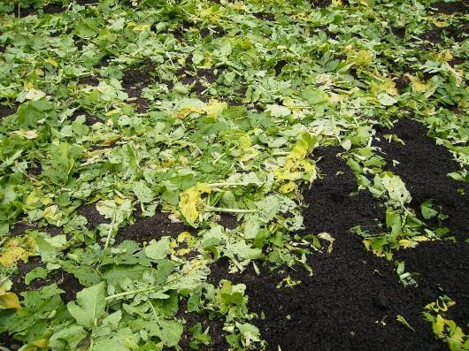 大根葉を土に還す