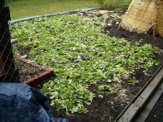 大根葉を土に還す裏