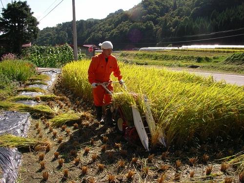 2009.稲刈り (1)