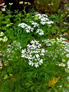 pakuchi-flower.jpg