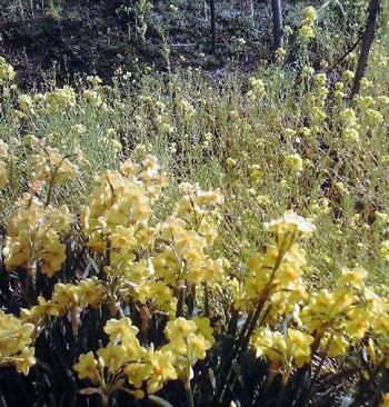 黄色の花々