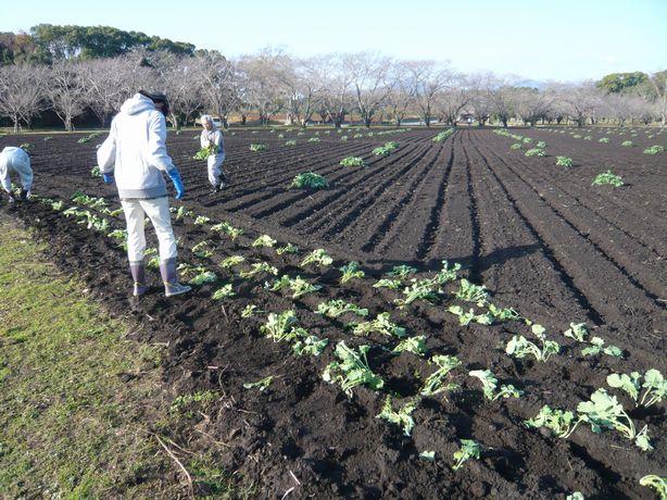 菜の花植え途中