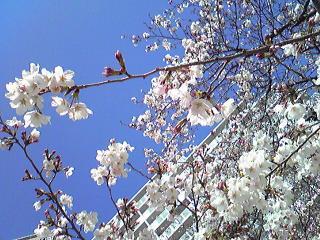 2011桜4