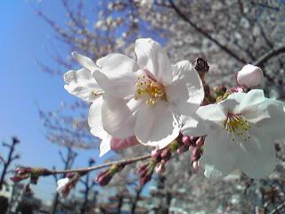 2011桜3