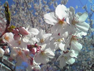 2011桜1