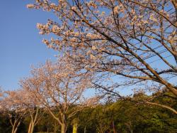 大分の桜20110406-1
