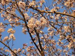 大分の桜20110406-3