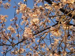 大分の桜20110406-4