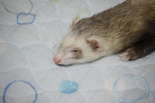 枕もとで眠るモモちゃん♪