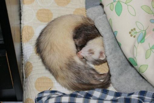 枕元で寝るモモちゃん♪