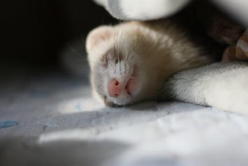 睡眠中のモモちゃん2