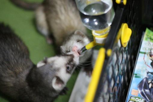 仲良く水を飲む2フェレたち2(ジャック君が割り込む1)
