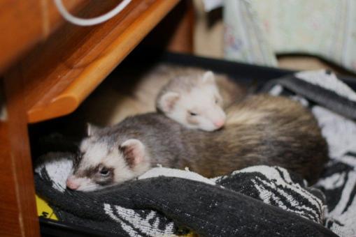 おもちゃの保管庫で寝る2フェレたち4