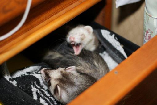おもちゃの保管庫で寝る2フェレたち2(おおあくびのモモちゃん)