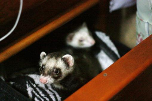 おもちゃの保管庫で寝る2フェレたち1