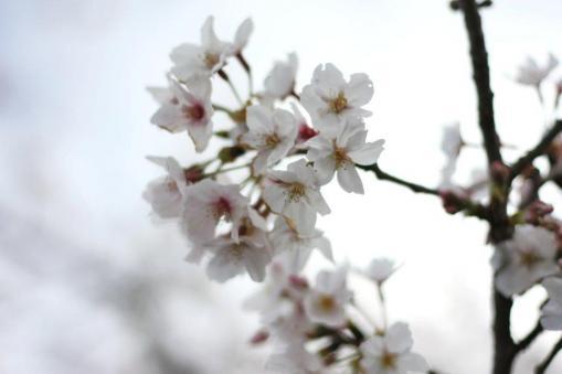桜アップ(単焦点レンズにて)