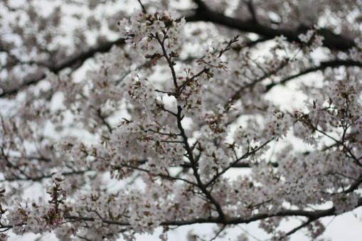 桜(単焦点レンズにて)