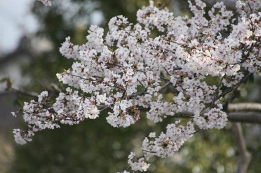 桜(マクロレンズにて)