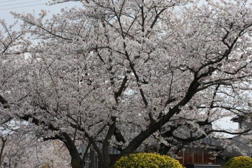 桜全体(単焦点レンズにて)