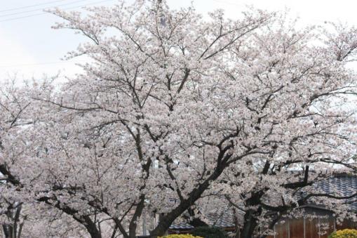 桜全体(標準レンズにて)