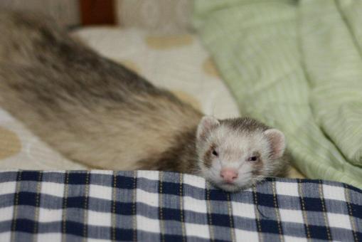枕で休息のモモちゃん(アップ)