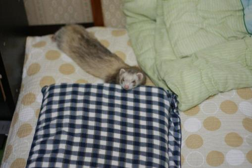 枕で休息のモモちゃん
